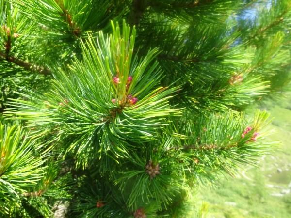 Zirbelkiefer, Zirbenöl, Pinus cembra, Bio, Österreich