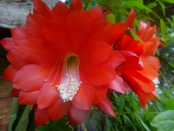 Hibiskusblüten ganz, 50g