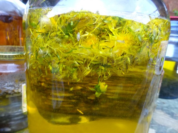 Löwenzahnöl, Mazerat in Bio-Sonnenblumenöl