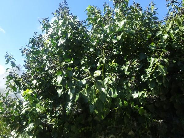 Jasmin, Jasmin sambac, Absulute, 5ml