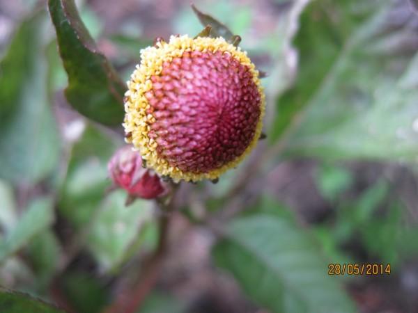 Parakressehydrosol/glycerin, pflanzliches Botox, Bio