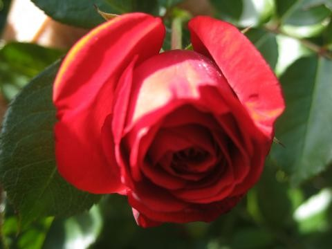 rose-25593ac18b67e5