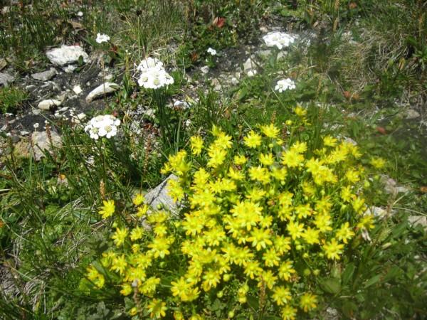 Alpenblumenöl, Mazerat