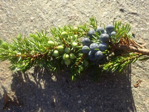 Wacholderholzöl, Juniperus communis, 100% äth. ÖL