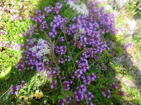 Quendelöl, Thymus serpyllum, Bio, Frankreich